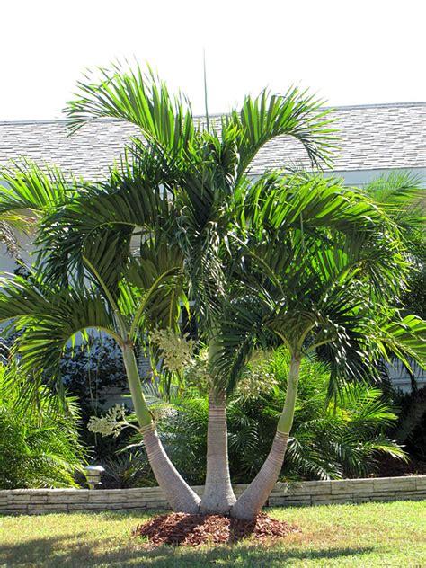 multi plant pot christmas palm tree adonidia merrillii