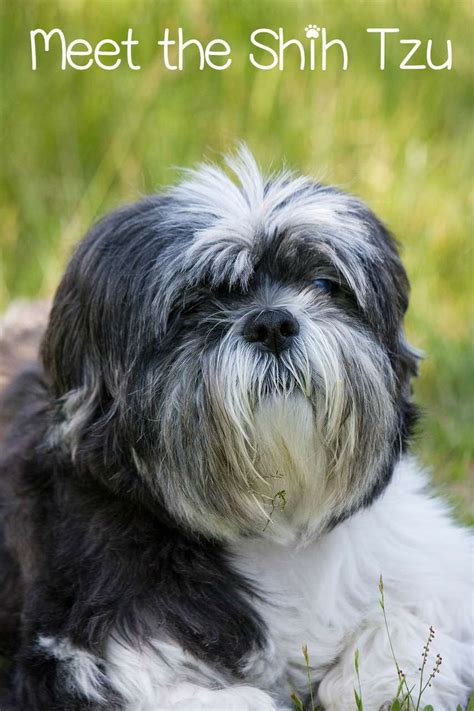 shih tzu around meet the shih tzu the ultimate house