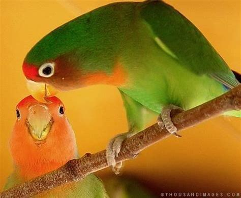 Care Lovebird how to care for lovebirds 7 steps onehowto