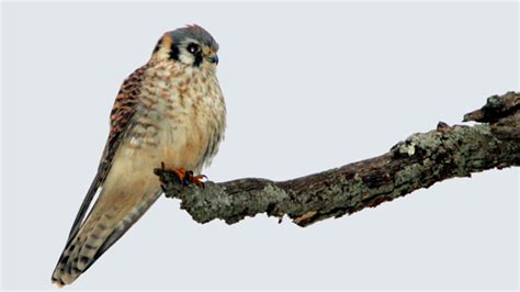 american kestrel 171 conserve wildlife foundation of new jersey