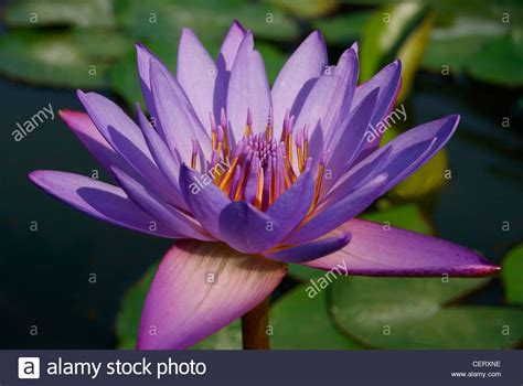 water flower bloom water sparkle lotus flower water blooming violet water lotus flower in pond shining in