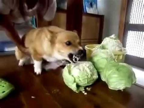 is cabbage for dogs angry cabbage