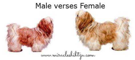 shih tzu puppies how big do they get the shih tzu temperament personality
