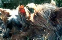 yorkie choking terriers yorkie puppies breeder information san diego