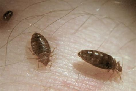 do bed bugs stay on your skin pest spotlight pest control toronto