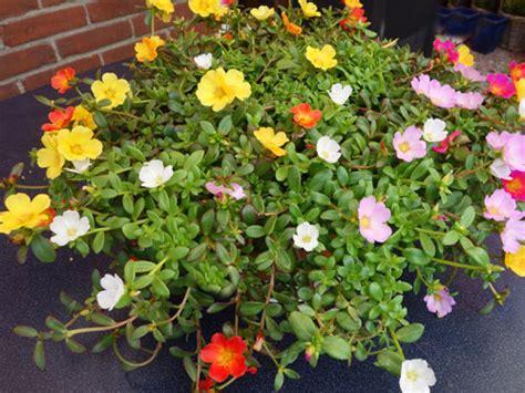 piante per terrazzi 5 piante da balcone soleggiato e per l estate one