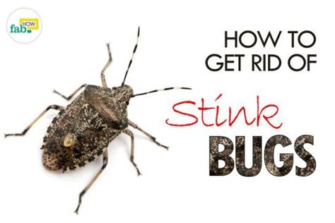 how to get rid of stink bugs in my house how to get rid of stink bugs in my house 28 images 10 ways to get rid of stink