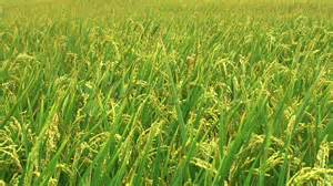 Green Screen Photography Rice Field Before Harvest Stock Video 436959 Hd Stock Footage