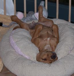 wann hund einschläfern vom embryo zum erwachsenen hund 171 caneami