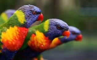 Rainbow parrot wallpaper