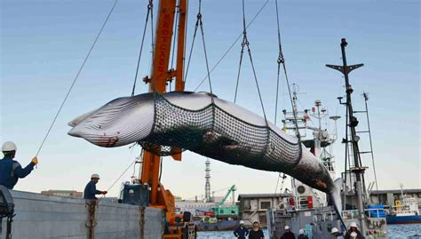 Whaling Is Still Big In Japan by Japan Slaughters 177 Whales As Part Of Annual Hunt In