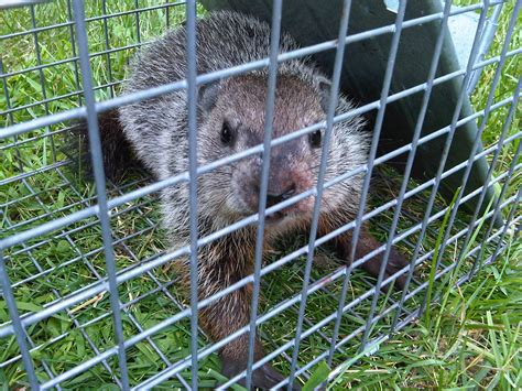 Garden State Wildlife New Jersey Groundhog Trapping And Removal