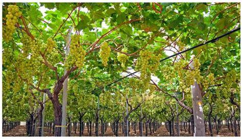 Grape Garden by Grape Cultivation Information Guide Asiafarming