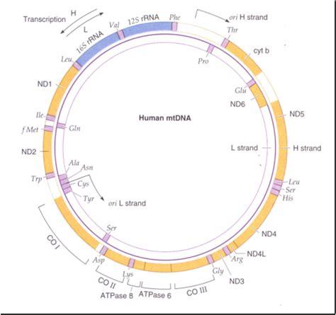 imágenes videos de genoma extranuclear