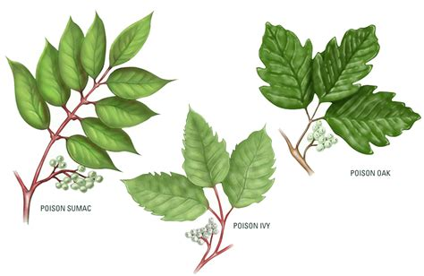 poison ivy oak and sumac information center www the facts about poison ivy engledow group