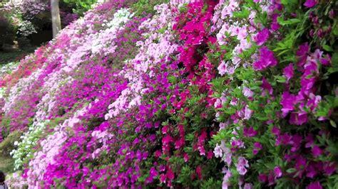 a japanese azalea garden daikozenji quot tsutsuji