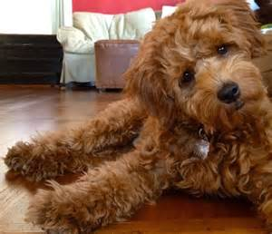 goldendoodle puppy jumping 1000 images about goldendoodle grooming on