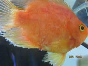 freshwater aquarium fish diseases freshwater aquarium
