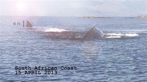 imagenes reales megalodon tiburones el sospechoso documental del megalod 243 n de