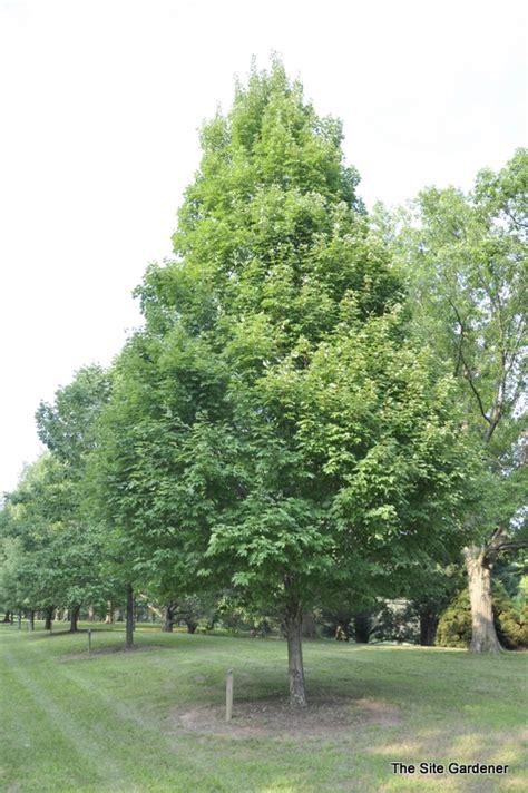 karpick maple tree acer rubrum karpick hess landscape nursery finleyville pennsylvania
