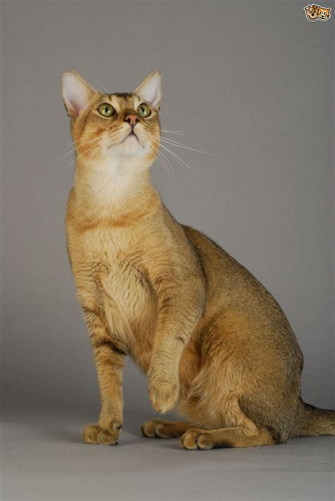 big domestic cat breeds breeds picture