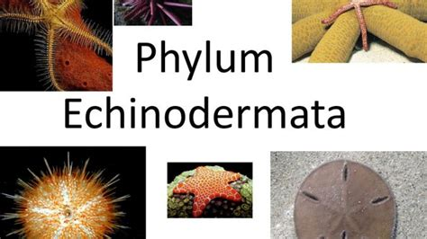 phylum echinodermata general characteristics  classification