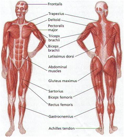 How Many Muscles Are There in the Human Body?
