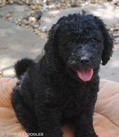 female labradoodle hair styles labradoodle haircut styles goldendoodle grooming styles