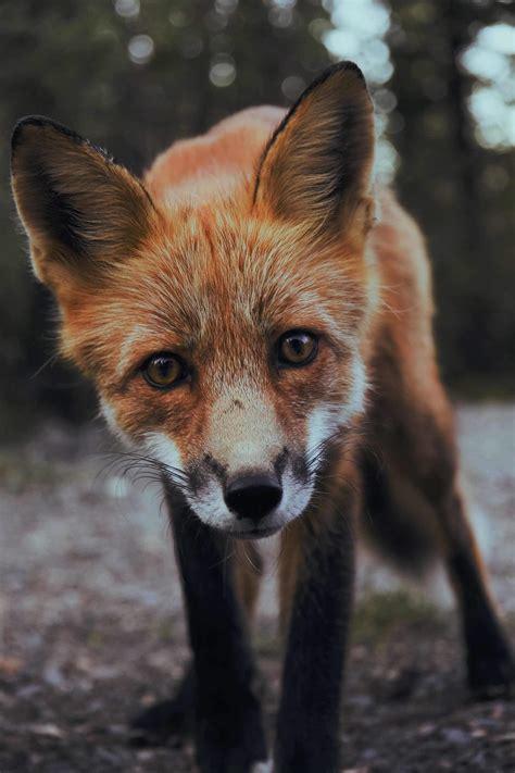 best fox pictures bilderparade cdlxxxiv seite 1