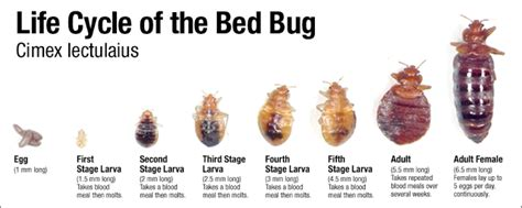 bed bug stages bed bug larvae stage
