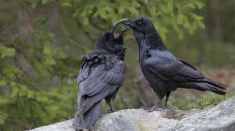 two species become one ravens found to be evolving in an