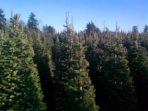 pfaff s u cut christmas trees 98092 auburn 29204 124th