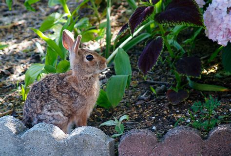 rabbit repellent for vegetable gardens what is the best rabbit squirrel and deer repellent
