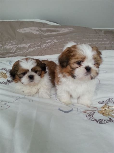 4 week shih tzu stunning shih tzu pups 8 weeks boys and glasgow lanarkshire pets4homes