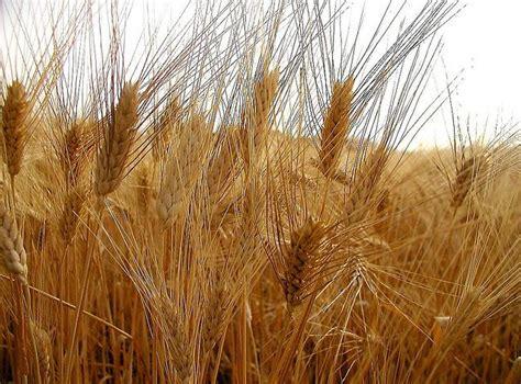 di commercio di catania quotazione grano duro grano duro siciliano prezzo in alto