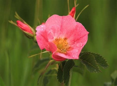 state flower of iowa iowa state flower wild rose state birds and flowers