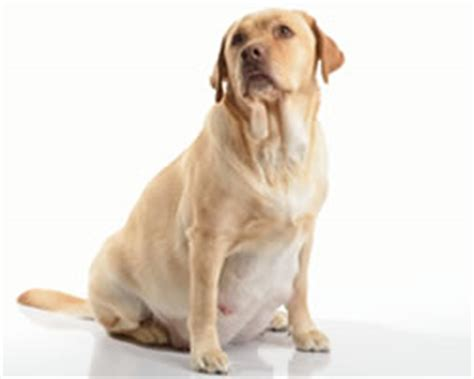 gestation time for dogs caring for a reproduction dogs pet care information from greencross