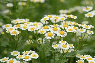 Play Decorating Room Games - how to grow chamomile plants