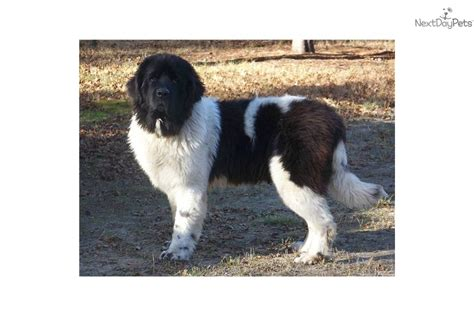 newfoundland puppies michigan newfoundland puppies in michigan breeds picture