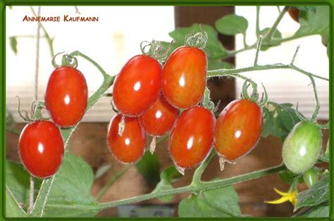 Tomaten Resistente Sorten 1600 by Tomaten Resistente Sorten Robuste Widerstandsf Hige