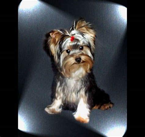 blumoon yorkies akc yorkies terriers chion yorkie males