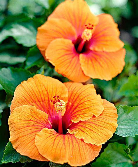 hibiskus zimmerpflanze kaufen koop nu jonge plant hibiscus oranje jonge plant bakker