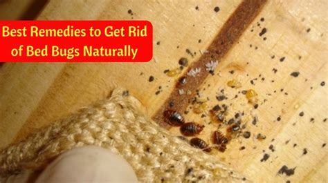 remedies   rid  bed bugs naturally