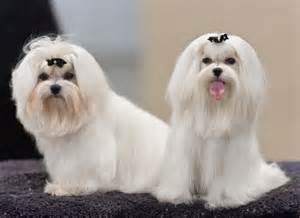 35 kleine hondenrassen hondenfun nl