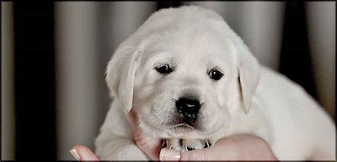 lab puppy cost how much do labrador retrievers puppies cost dogs our friends photo