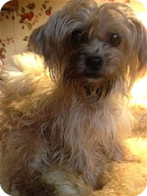 yorkies for adoption in ct julius adoption pending adopted manchester ct yorkie terrier mix