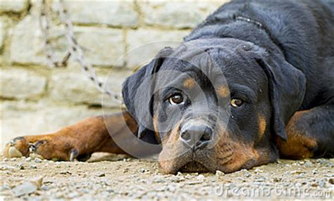 real rottweiler rottweiler stock photo image 49455673