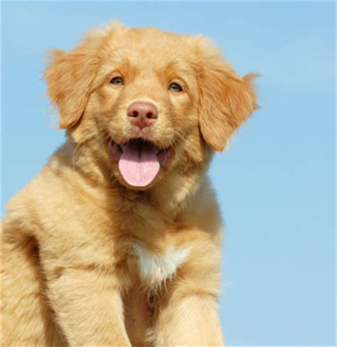 scotia duck tolling retriever puppies scotia duck tolling retriever breed information