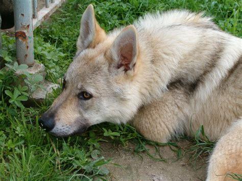regalo cane lupo cecoslovacco zack passo del lupo cane lupo cecoslovacco giugno 2006