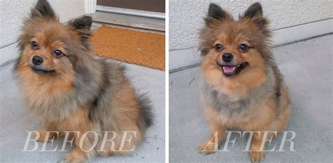 pomeranian haircuts before and after pomeranian puppy cut before after